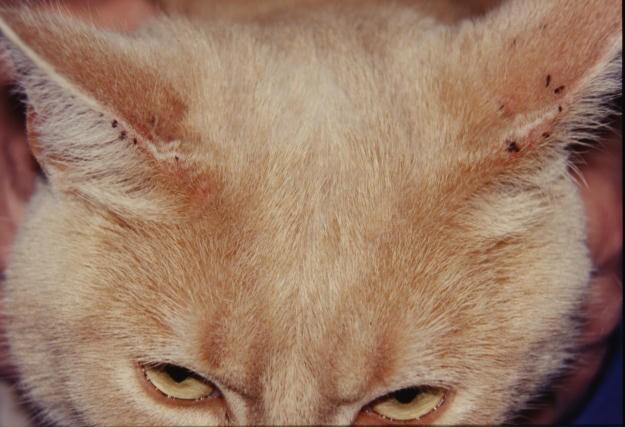 Puce de chat dans la maison avie home - Comment eliminer les puces d un chat ...